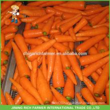 Export Standard Fresh Carrot