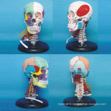 Human Skull Medical Anatomical Model with Vascular Nerve Muscle