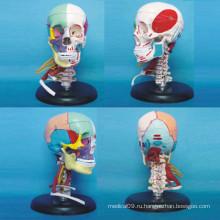 Медицинская анатомическая модель черепа человека с мышцами сосудов нерва