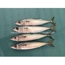 Block Quick Frozen Mackerel Fish