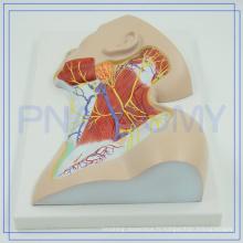 PNT-1633 2017 anatomie plastique les plus populaires nerfs du cou région modèle