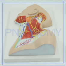 PNT-1633 2017 most popular plastic anatomy Nerves of Neck Region model