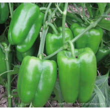 HSP23 Cufa small bright green F1 hybrid sweet/bell pepper seeds in vegetable seeds