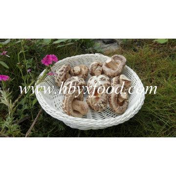 Cogumelo de Shiitake secado sem haste (cogumelo da flor branca)