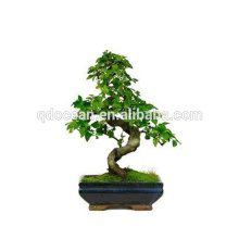 China supply old bonsal tree for sale with reasonable price bonsai pot for decoration