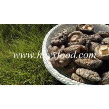 Heißer Verkauf Glatte Oberfläche Frische Shiitake Pilz