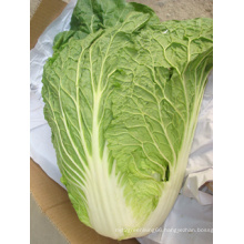 New Fresh Competitive Cabbage (1.5kg)