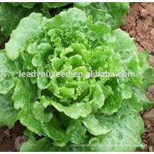 MLT04 Daliang début maturité chinoise laitue graines de légumes entreprise