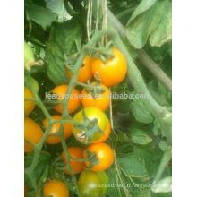 TY01 Huangzuan forme ovale f1 hybride jaune graines de tomates cerises
