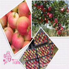 Sale Fresh Gala Apple to All Around The World