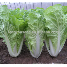 KC03 Bobang fast grow f1 hybrid pakchoi seeds Chinese cabbage seeds