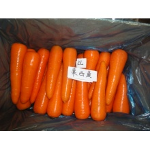 New fresh carrot with GAP certification