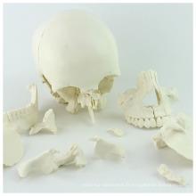 SKULL12 (12392-1) Modèle de crâne d'humain adulte de sciences médicales 22parts