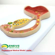 VENDER 12454 corpo humano fertilizado ovo educação modelo