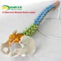 Медицинская модель пластиковая модель человека позвоночника для изучения Остеологии Хиропрактики