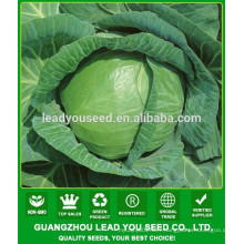 NC03 Mesy hybrid seeds cabbage producer