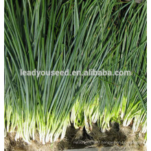 MSH01 Baitou white top op green shallot seeds, green onion seeds