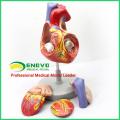 HEART04 (12480) Medizinische Wissenschaft Menschliches Herz Anatomisches Modell