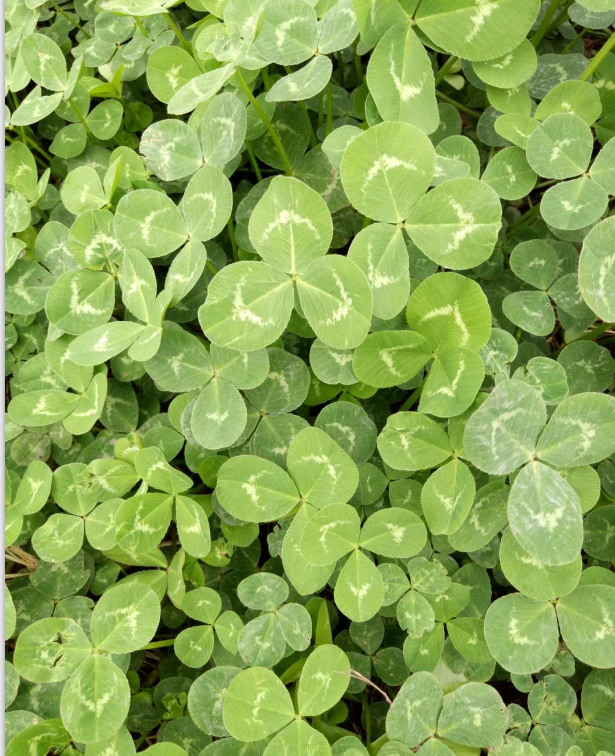 ouchhealthy Supply Trifolium repens L seeds