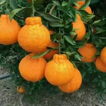 Super Purchasing for Offer Fresh Apricot,Organic Navel Oranges,Mandarin Orange From China Manufacturer Best fruits to eat supply to Georgia Wholesale