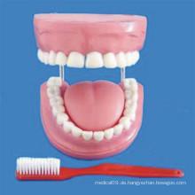Mensch 4 mal vergrössert 32 Zähne Zahnpflege Modell (R080108)