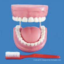Human 4 Times Enlarged 32 Teeth Dental Care Model (R080108)
