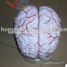 ISO New Cerebral Artery Model, Human Brain Anatomy Model