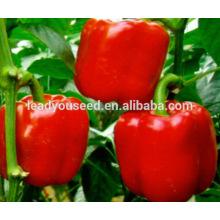 MSP211 Changement de couleur rouge à haut rendement printemps graines de poivrons dans les graines hybrides