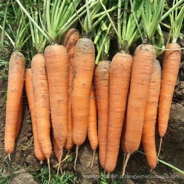 HCA08 Bianer 20 a 25cm de comprimento, Op sementes de cenoura em sementes de hortaliças