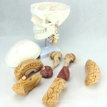 SKULL01-1 (12327) Modèle de crâne en plastique de nerf crânien d'anatomie de science médicale