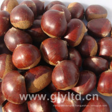 Chinese Fresh High Quality Chestnut
