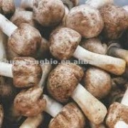 Agaricus blazei Extract(100%Natural)