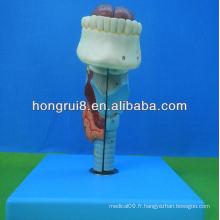 Modèle de larynx médical de taille ISO, larynx avec langue et dents