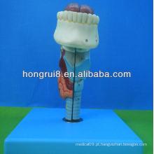 Modelo de laringe médico ISO tamanho vital, laringe com língua e dentes