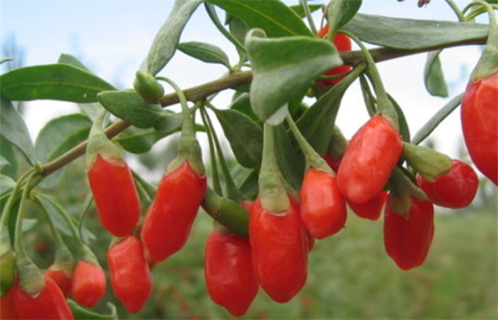 Dried Certified Organic Goji berry