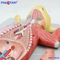 PNT-0826 Modelo anatômico em tamanho real para gatos