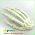 TF13 (12324) modèle orthopédique d'os normal de grosse anatomie de mousse solide