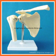 Human Anatomical Simulation Shoulder Joint Skeleton Model for Medical Teaching