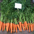 RCA02 Reyou cinco sementes chinesas da cenoura da polegada for sale