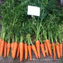 RCA02 Reyou cinco pulgadas semillas de zanahoria china para la venta
