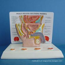 Masculino Abdomen Medical Anatomy Model with Description (R110203)