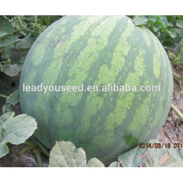 MW11 Shenwen deep stripe hybrid seedless watermelon seeds china
