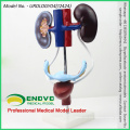 SELL 12424 Female Urogenital System, Free Standing Urinary System Model, Anatomy Models > Urinary Models > Female