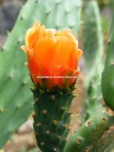 Cactus Extract 4: 1, 12: 1, 20: 1, 50: 1