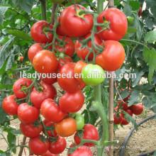 MT46 Xihai round shape hybrid red tomato seeds f1