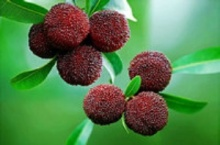 Bayberry Bark Extract, Myricetin 80% ,90%,98%