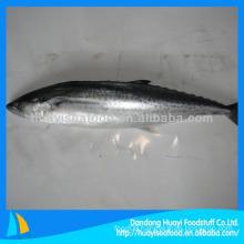 Freshest and good qualtiy spanish mackerel for sale