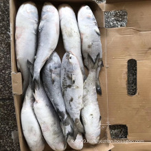Whole round frozen fish grey mullet fish for sale