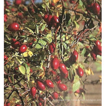 Rose Hip Extract & Acerola Extract