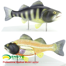 A30 (12011) Zoología 5 partes Anatomía del pez huesudo típico 12011